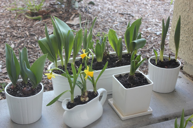 planted bulbs in pots