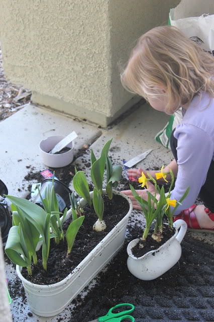 spring bulbs in dirt and planters