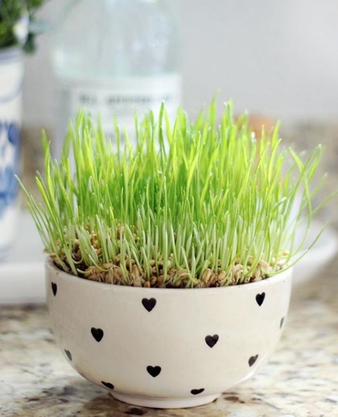 sprouted wheat grass in white bowl