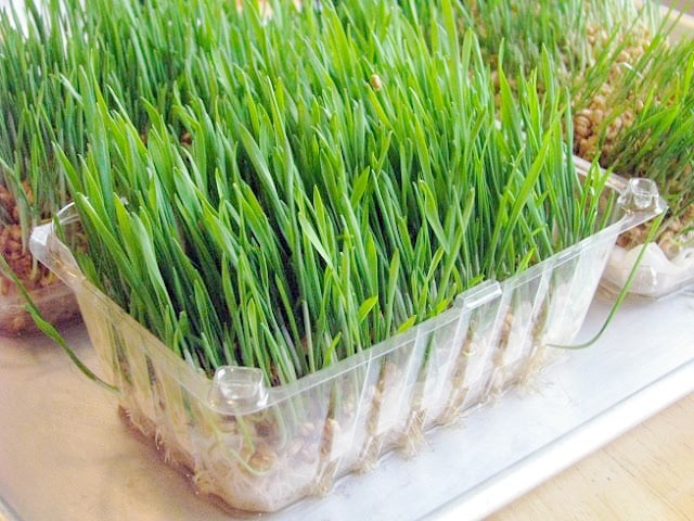 wheat grass sprouted in berry container