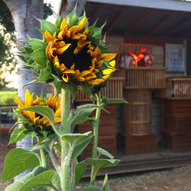 sunflower at bishop's pumpkin patch