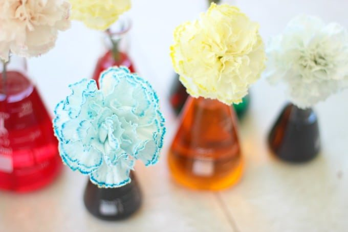 finished colored carnations in colored water vases