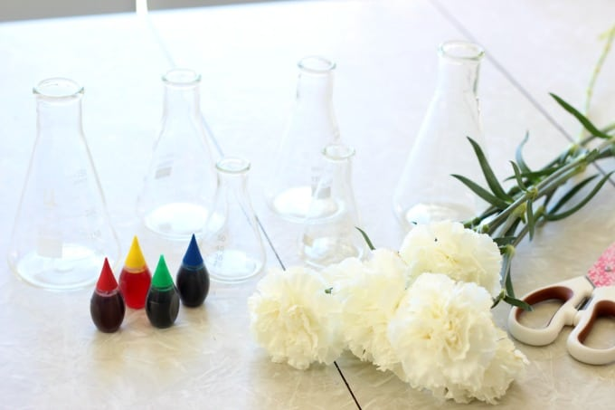 food coloring and glass vases with white carnations