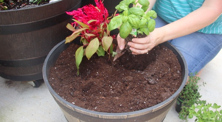planting dragon's breath plant in garden