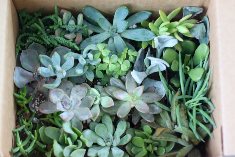box of shipped succulents