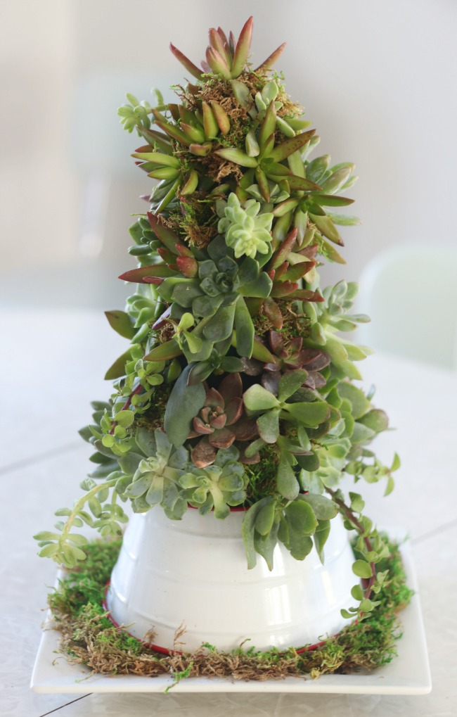 succulent tree on platter
