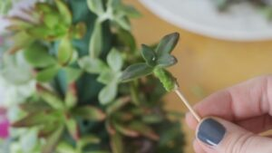 succulent stem with toothpick in it