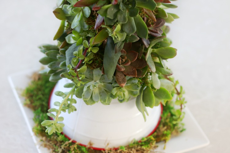 small tree collar around succulent christmas tree
